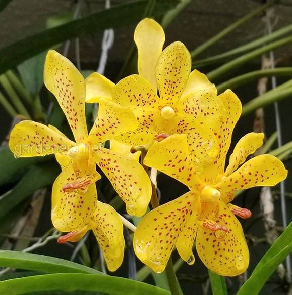 Коли слід пересаджувати орхідею?