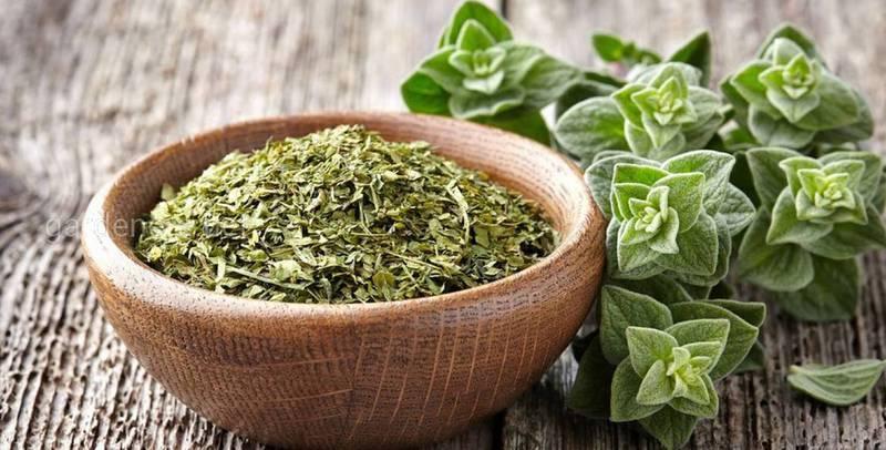 Как приготовить чай, сок, настойку, эфирное масло и мазь с майорана и при лечения каких заболеваний используются?