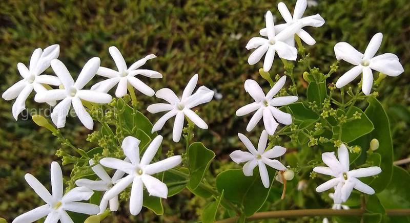Жасмин - цар квітів, який перетворює сірий день в свято
