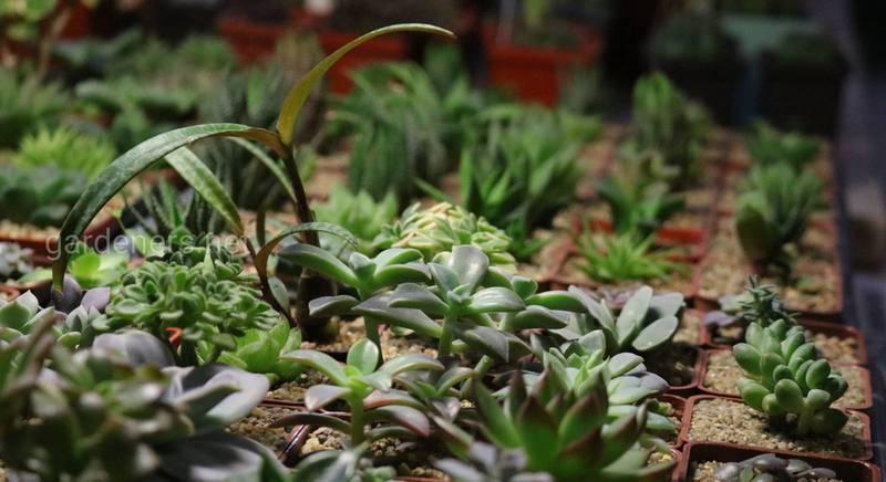 Хлорела для кактусів