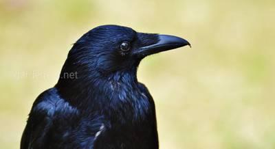 Птах Крук