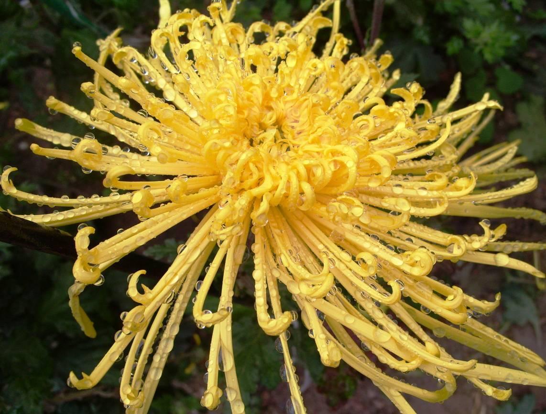 Пауковидная хризантема