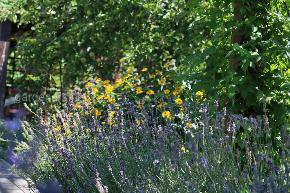 Ароматні фіолетові квіти лаванди