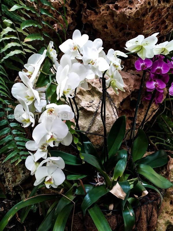 Грибкові хвороби орхідей
