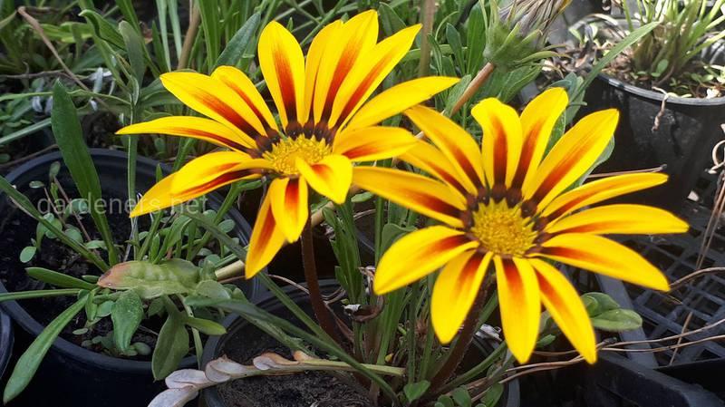 Які багаторічні теплолюбиві рослини можна забрати додому на зиму?