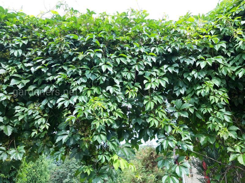 Как посадить и следить за диким виноградом?