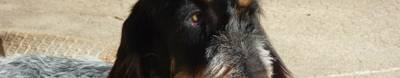 Собака Голубой гасконский гриффон