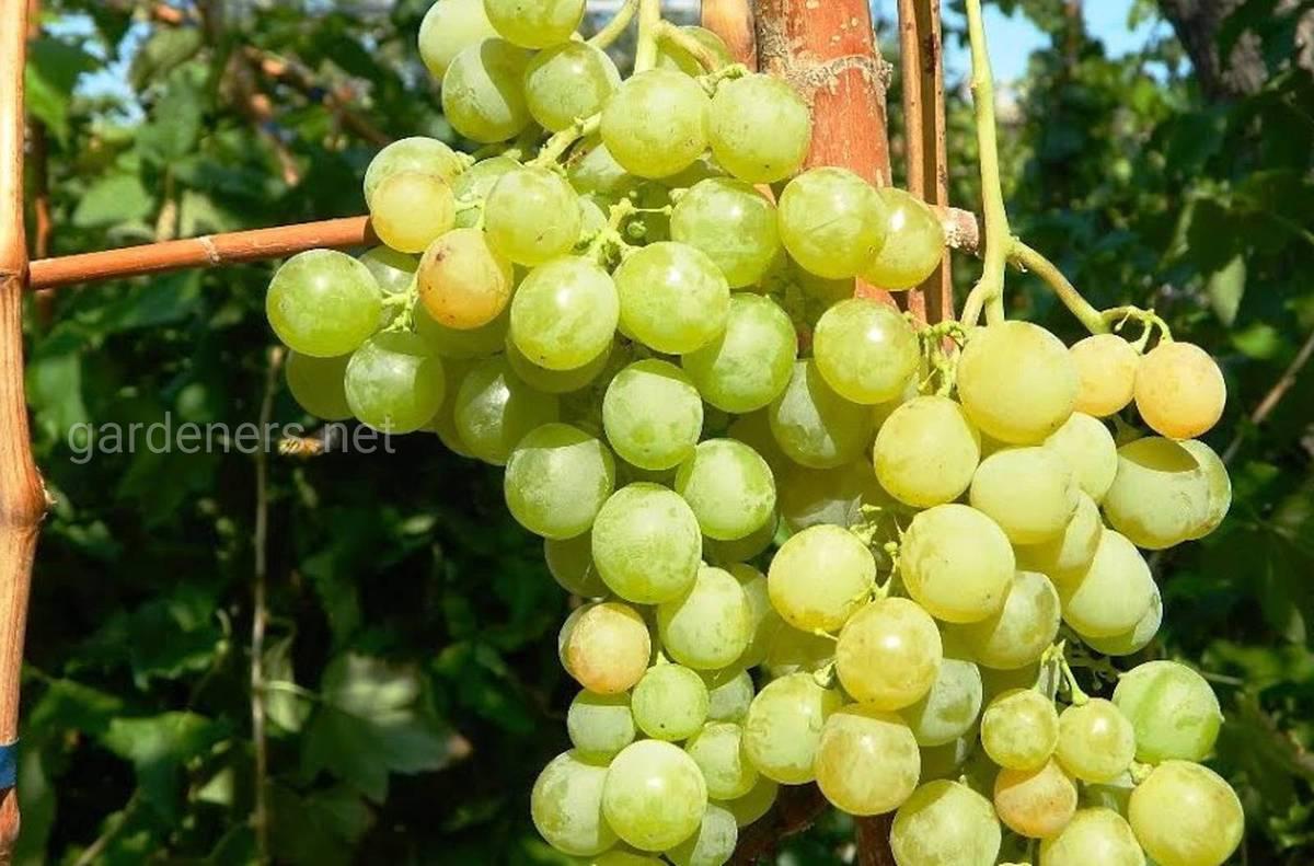 Виноград Мускат зеленый
