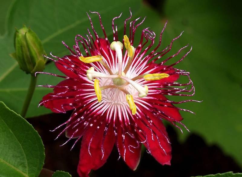 Пассифлора - лиана с красивым цветком