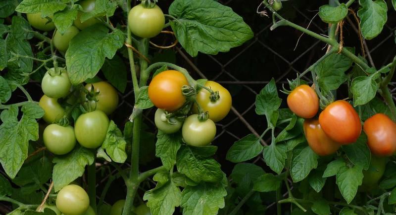 ТОП-10 секретов хорошего урожая томатов