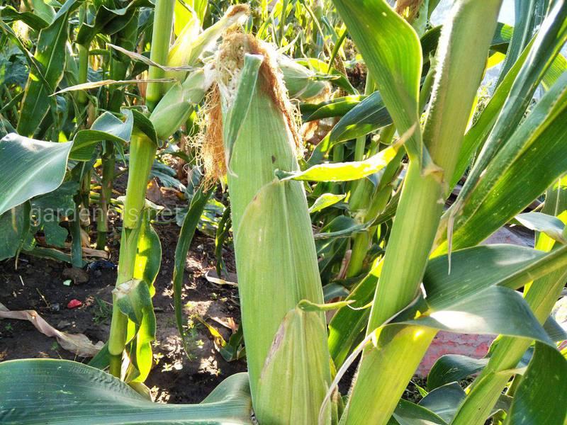 14 цікавих фактів про кукурудзу