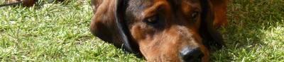 Собака Альпийский таксообразный бракк