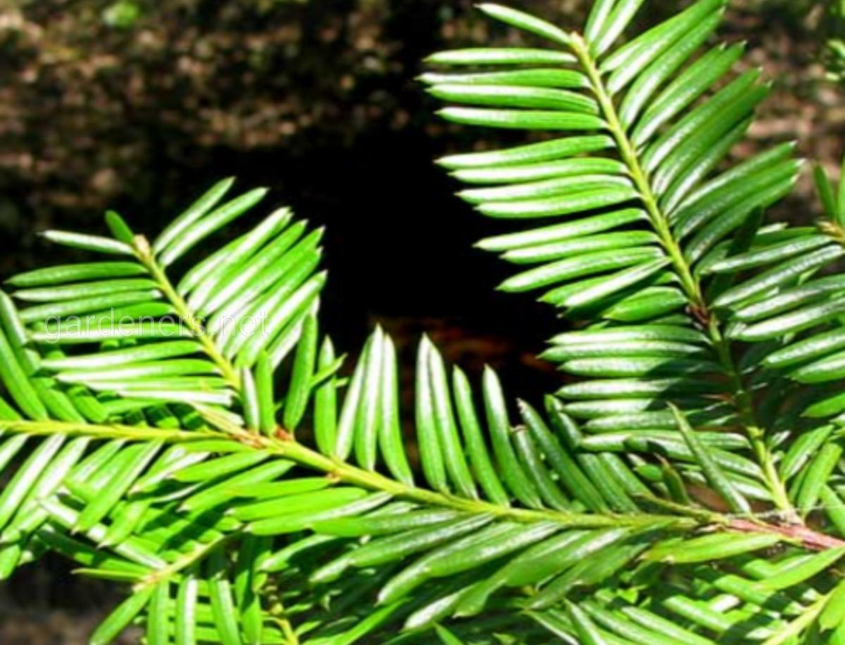 Тихоокеанский или коротколистый тис