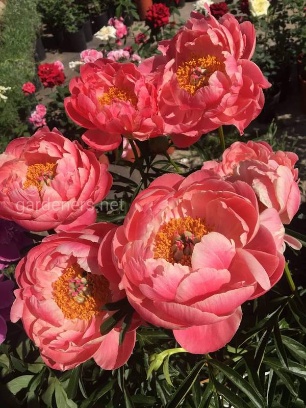 Пион - прекрасный цветок с неповторимым запахом