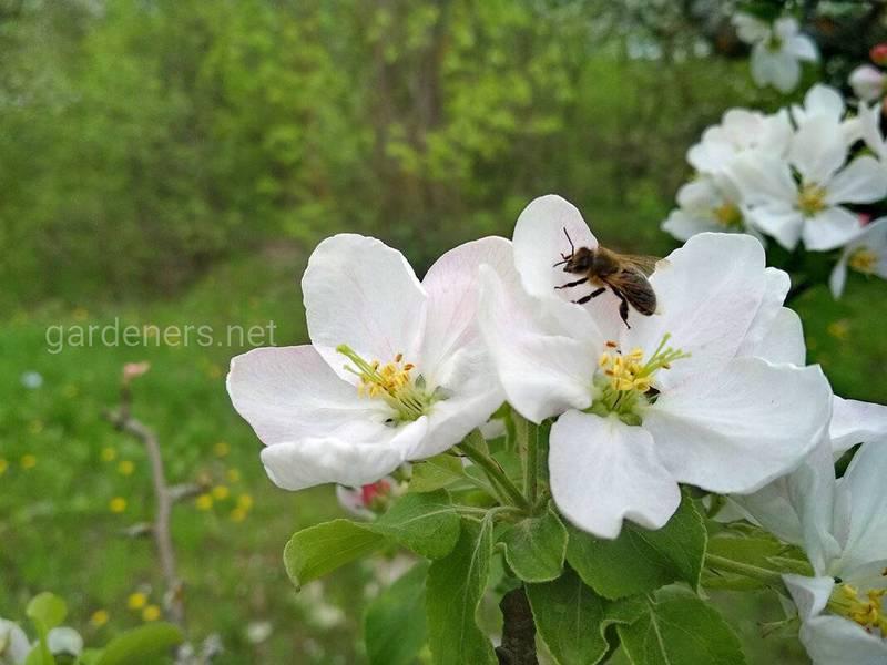 Как защитить яблоки от важных болезнетворных микроорганизмов?