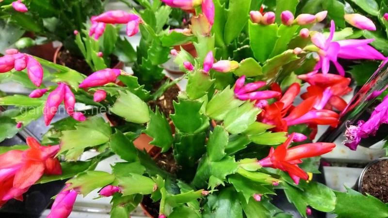 Чому шлюмбергера цвіте нерегулярно?