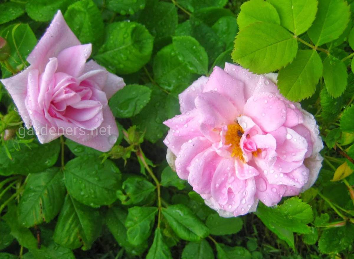 Роза Mustialan Ruusu