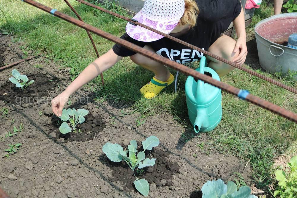 Огород и капуста