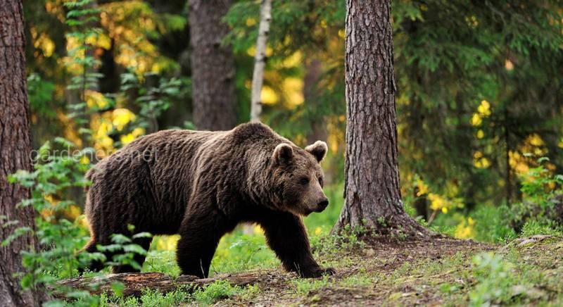 9 цікавих фактів про ведмедів