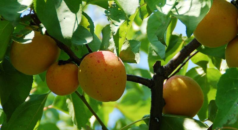 абрикосы.jpg