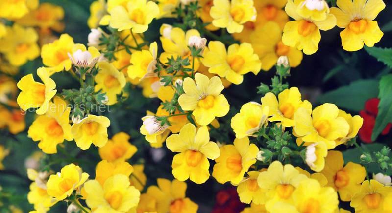 Немезия: разнообразие красочных сортов пышно цветущего растения