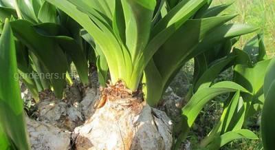 выращивание лук анзур.jpg