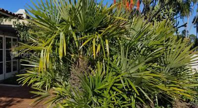 Пальма дикобраза