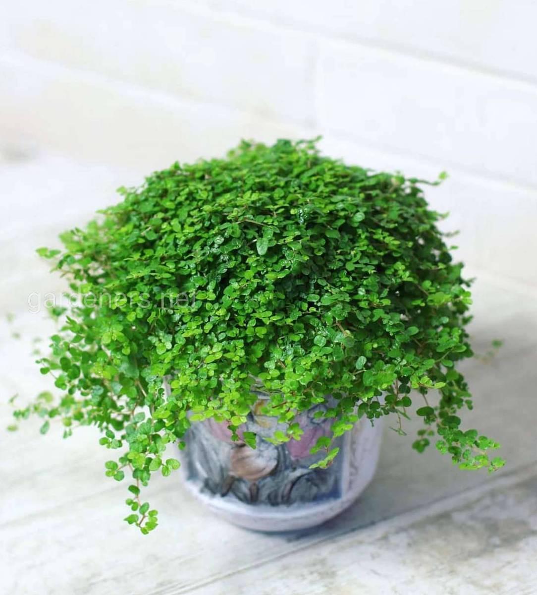 Комнатное растение солейролия (гелксина): уход в домашних условиях
