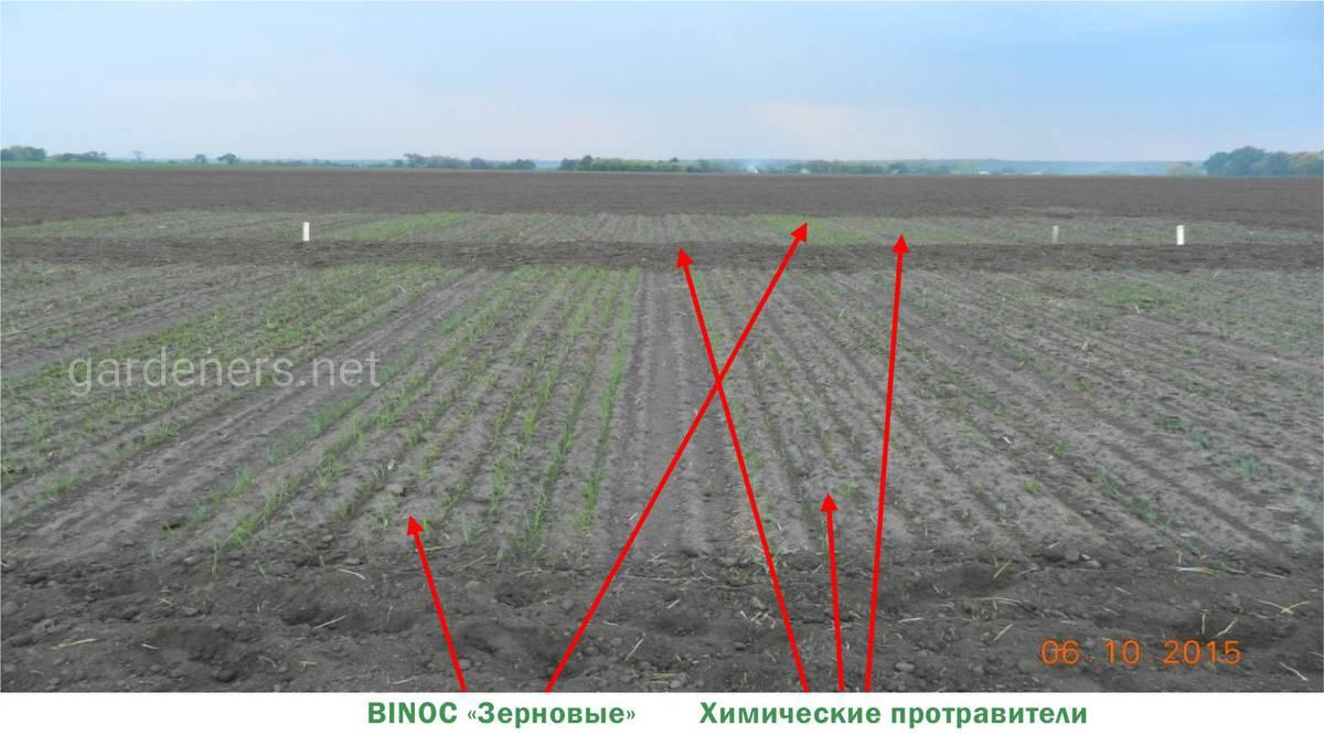 Влияние различных вариантов обработки на состояние посевов