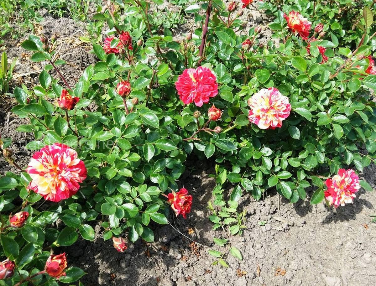 Сорт миниатюрных роз «Бигуди»