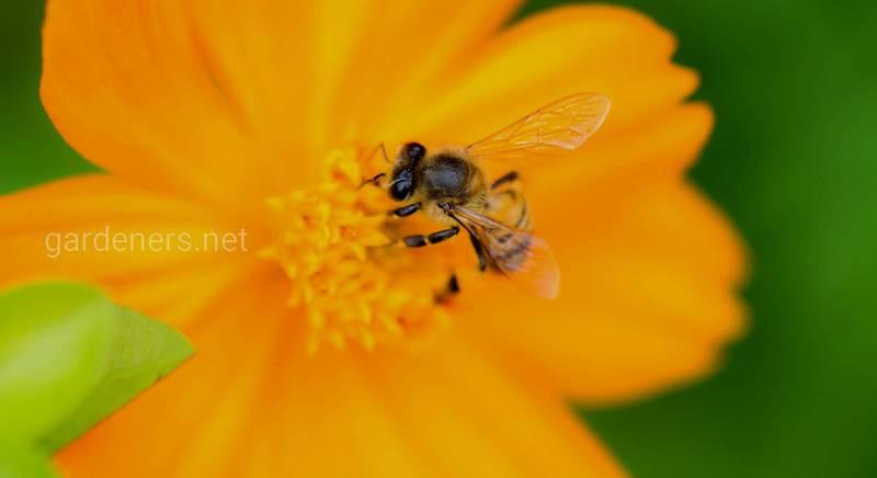 Квіти для бджіл у вашому саду