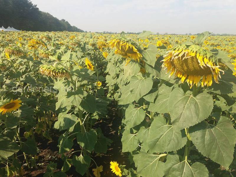 Як впливає азот на врожайність рослин?
