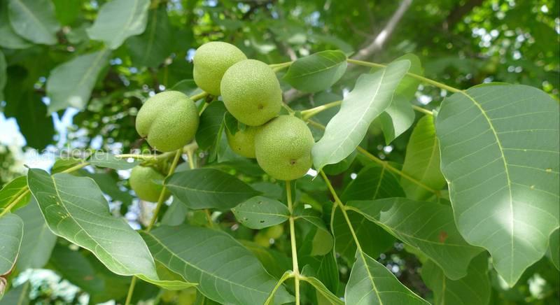 Список растений, которые можно высаживать под грецким орехом