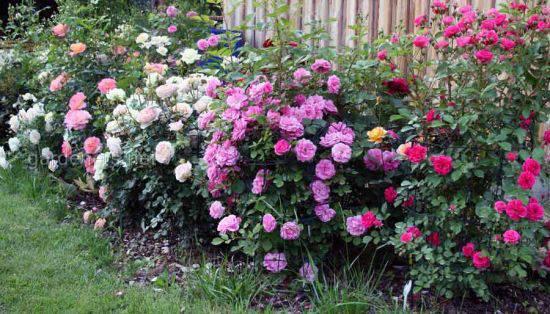Як правильно обрізати троянди?