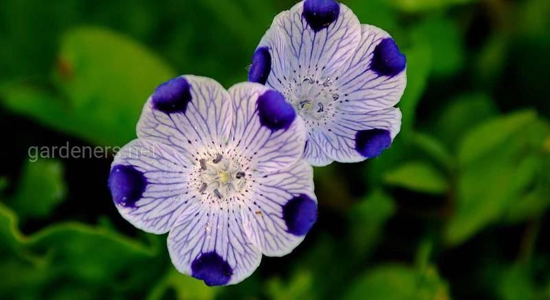 Немофилы – голубоглазые цветы, олицетворяющие победу и успех