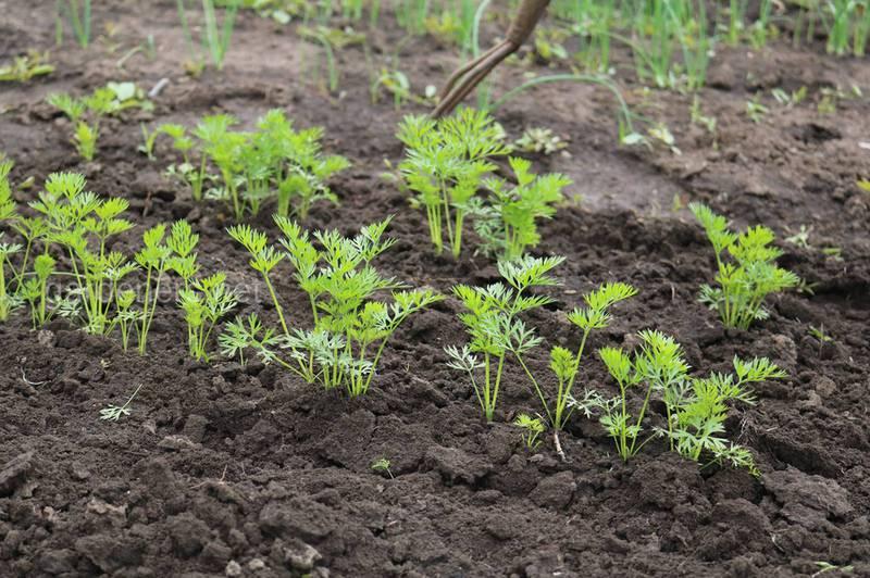 Вибір освітленості для посадки моркви насінням у відкритий грунт