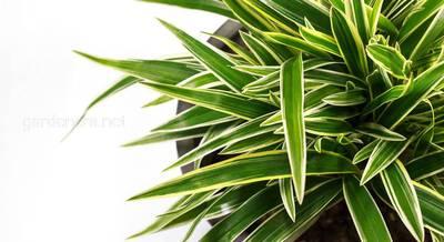Выращивание драцены в домашних условиях: посадка, уход, лечение от вредителей и болезней