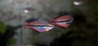 Рыба Радужница трехполосая