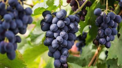 Виноград сорт Саперави