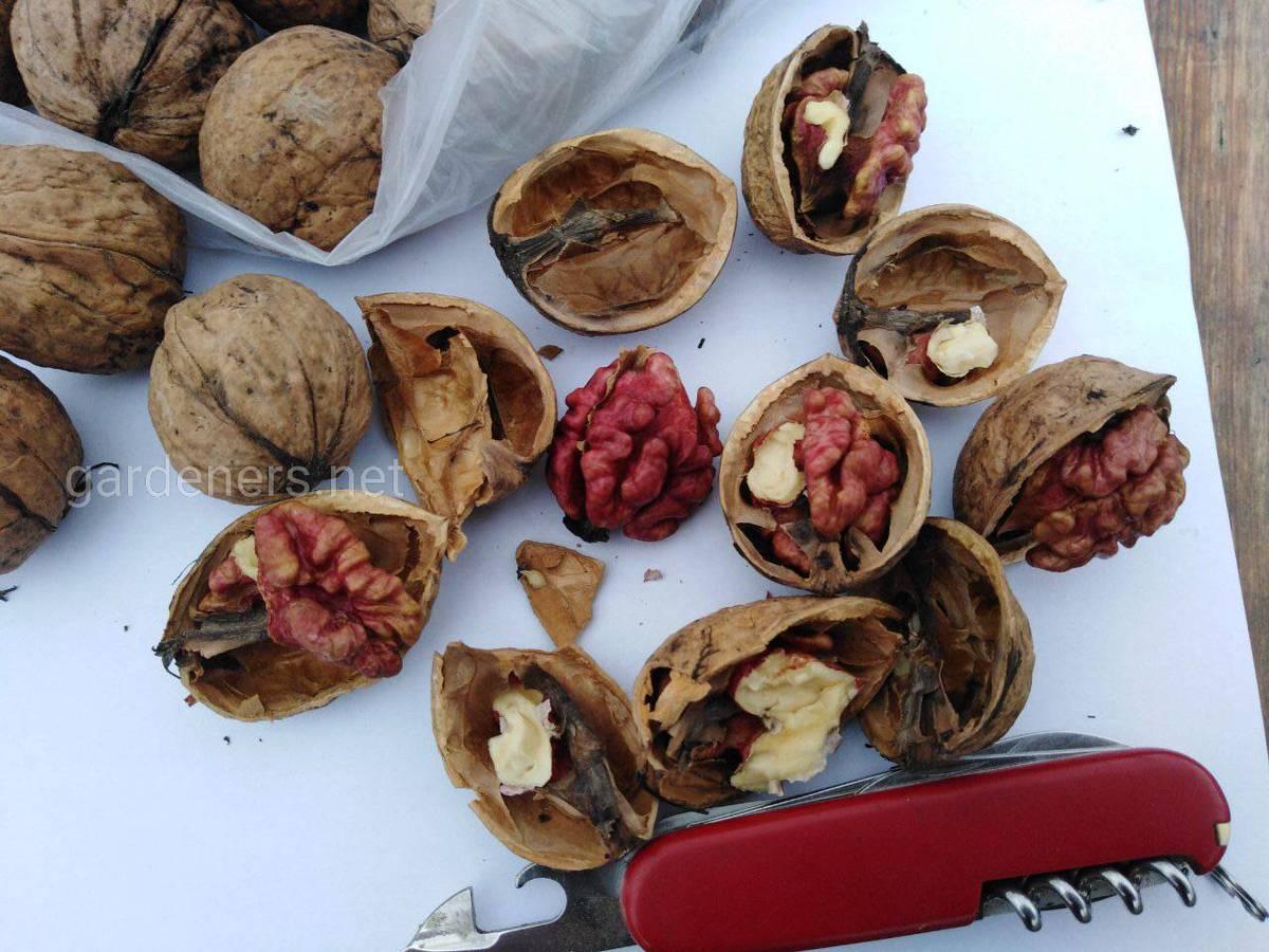 Красномясый грецкий орех.