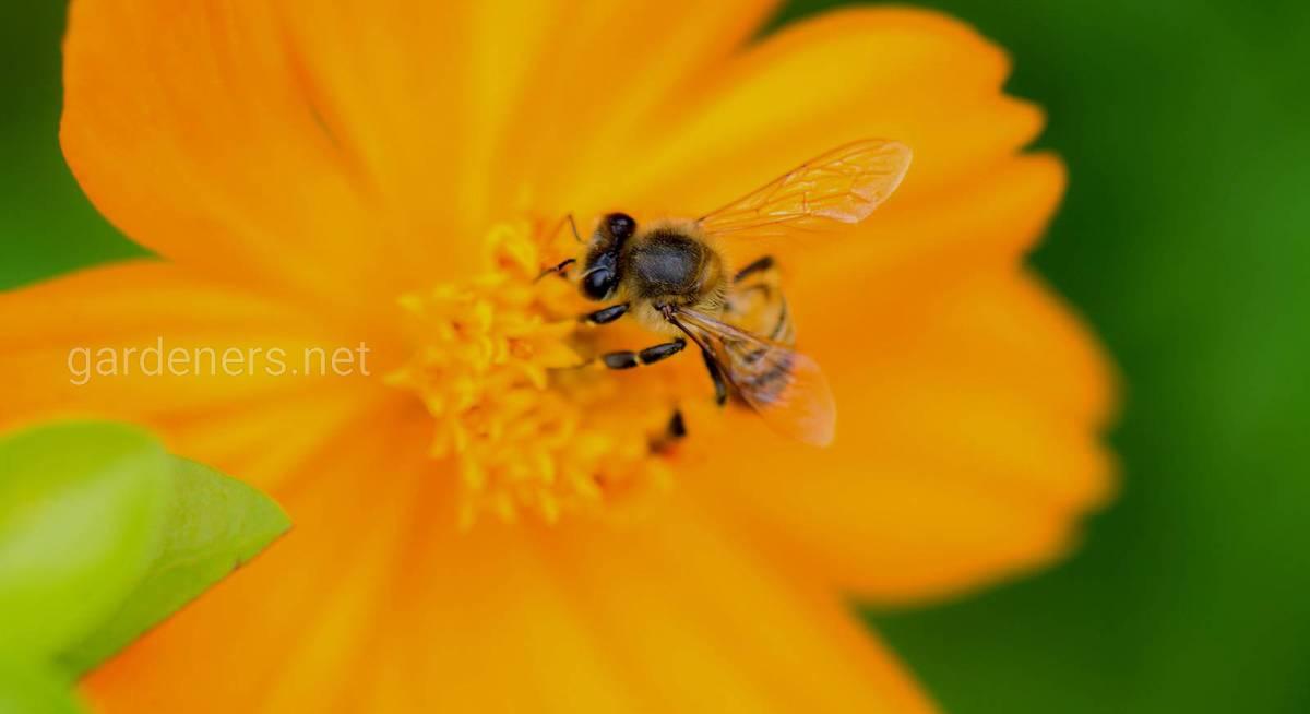 Цветы для пчел в вашем саду