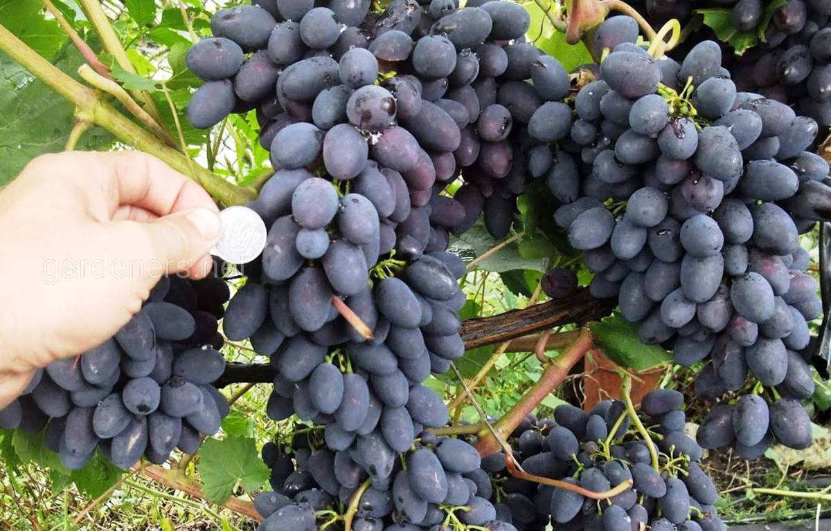 Сорт винограда Синий Северный