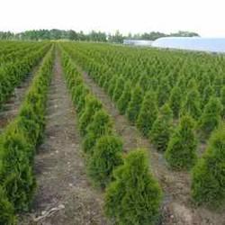 Саженцы декоративных растений      КФХ БелТуи УНП 291450888