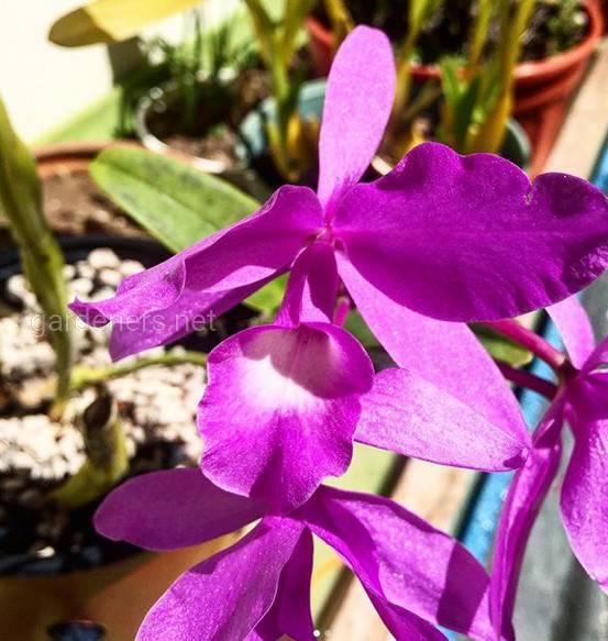 Гуария Морада – национальный цветок Коста-Рики