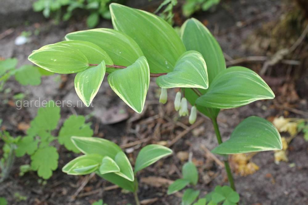 Polygonatum falcatum