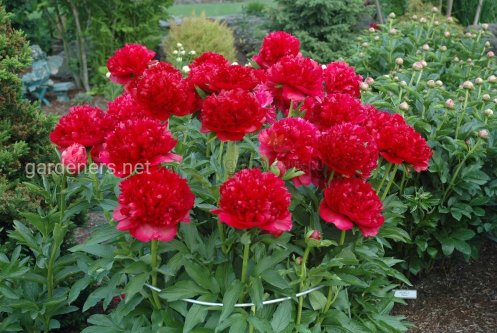 ТОП-8 причин почему не цветет пион