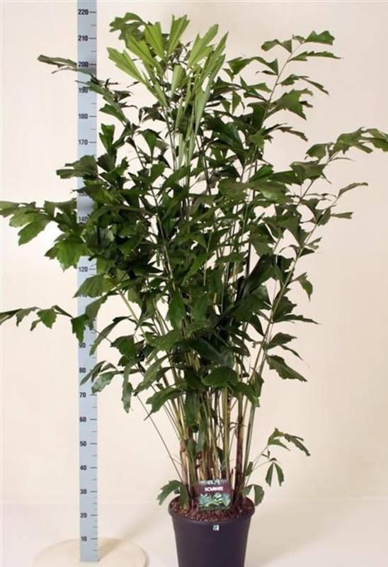 Які умови потрібні для вирощування пальми каріоти?