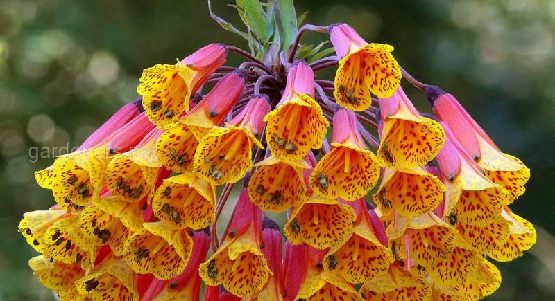 Бомарея - вечнозеленая лиана с невероятно красивыми цветами