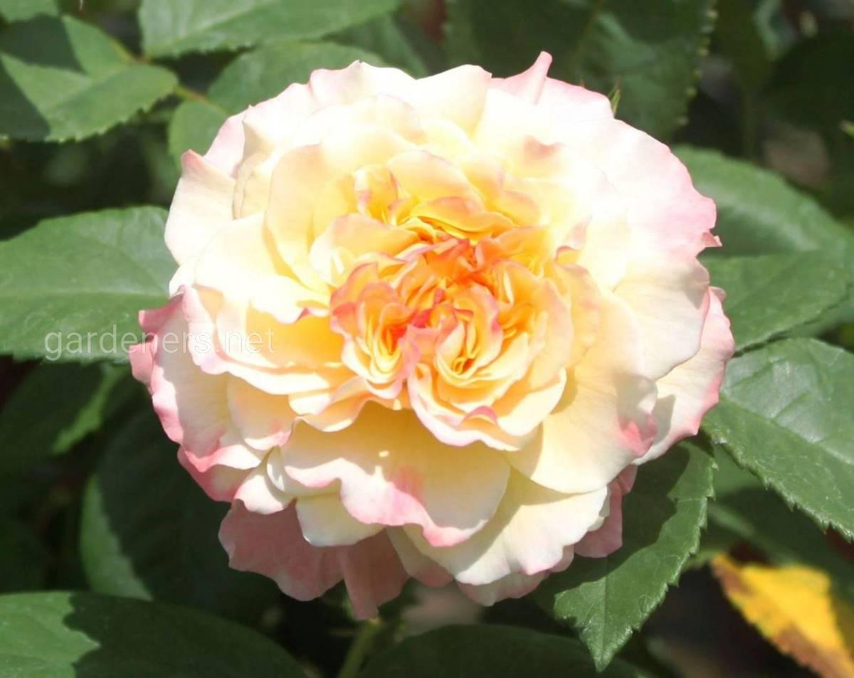 Сорта роз Aquarell