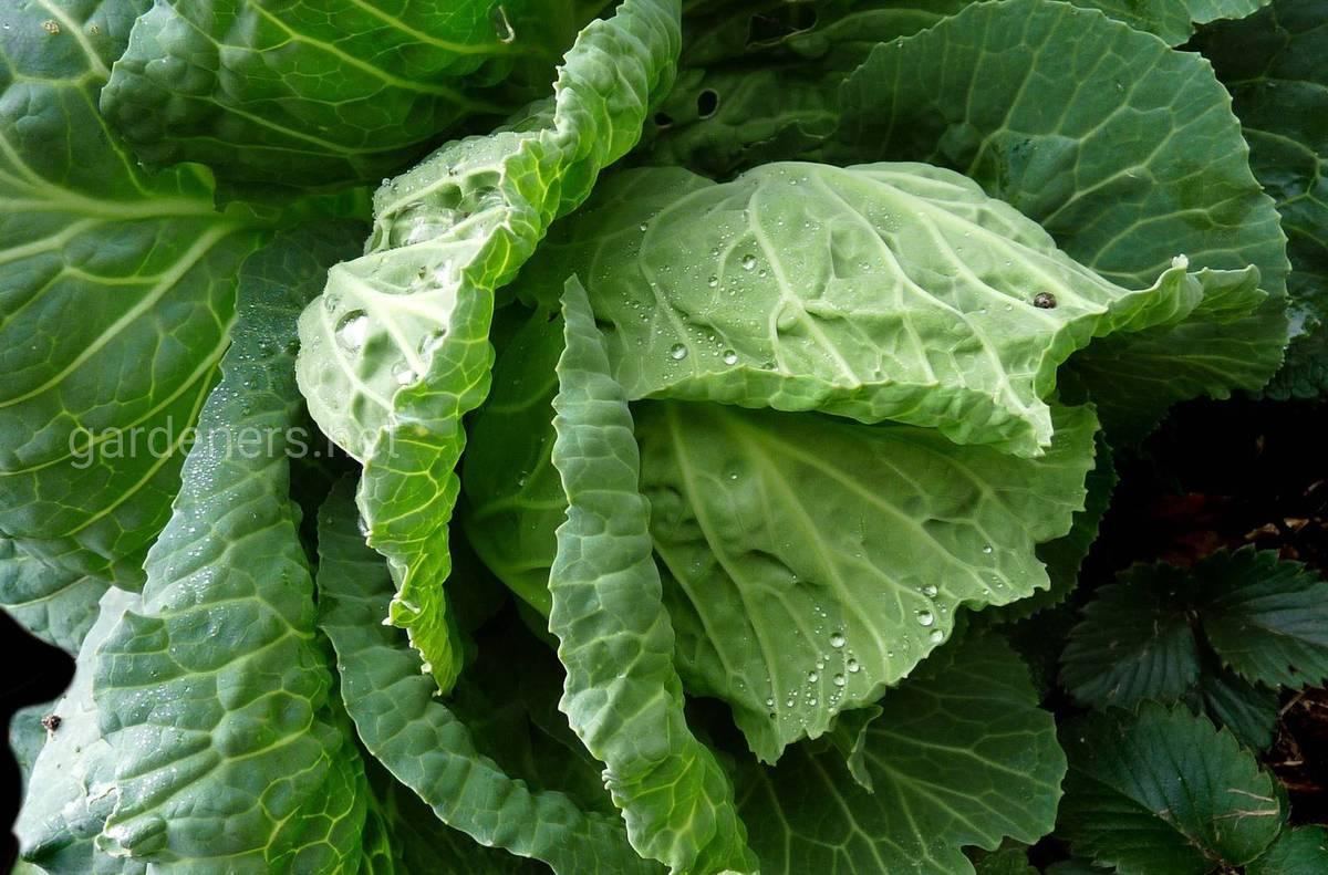 как худеть с капустой